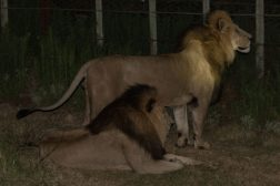 2 male lions standing near the fence line on the night drive