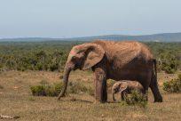 mum and bub elephant
