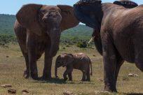 Mother elephant defending her calf