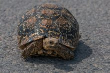Tortoise crossing the road