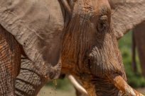 Close up of an elephant side on, mud droplets dripping off its ear