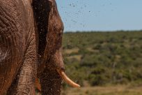 Mud droplets caught mid air while being sprayed on the elephant