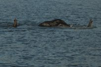 Elephant, 3 in a single file line crossing the river trunks above for air