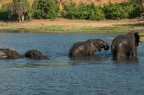 Elephants walking through the water, completely under, trunks up