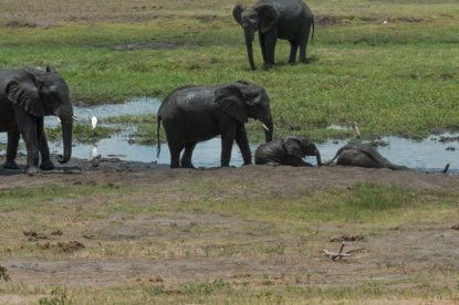Elephants sitting in the puddles of water