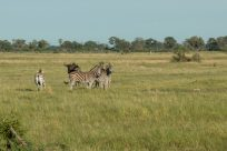 Zebra and wildebeast in the wild on our walk