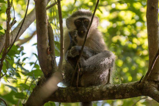 Monkey in the tree