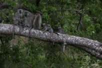 Monkeys in the trees