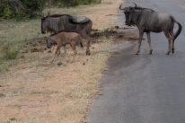 Wildebeast herd crossing the road
