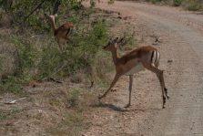 Antelope running across the road