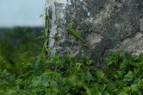 bright green lizard on the grey wall