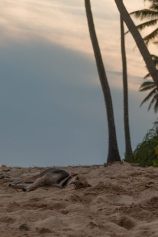 Sleeping dog on the beach
