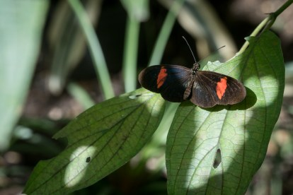 Butterfly on a leaf in Jardin Botanico