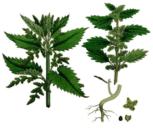 utilizare urzica in scop medicinal