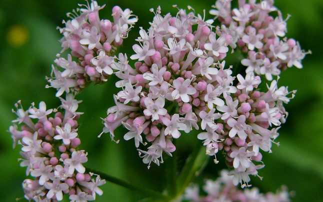 valeriana, floare de valeriana, planta cu efect calmant, flori roz,