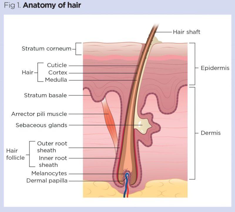 par, fir de par, anatomia firului de par, anatomy of hair, hair shaft, strat