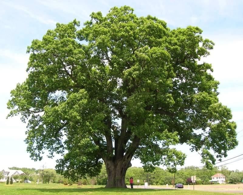 copaci, copaci ornamentali, pomi ornamentali,
