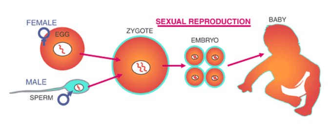 Advantages and Disadvantages of Sexual Reproduction: Conclusion