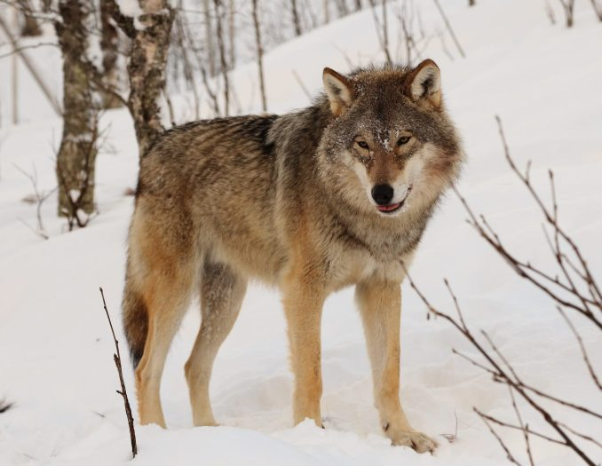 Locations Prominent with Wolves
