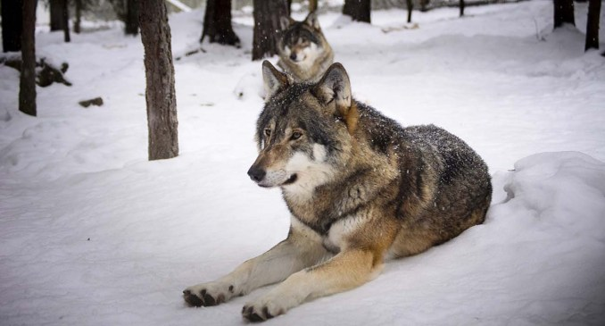 Wolf size comparison: Are Wolves Bigger Than Humans?