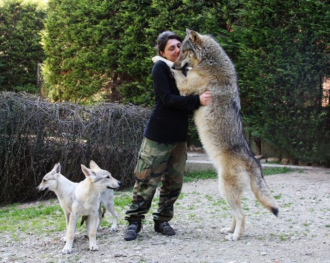 How big is a wolf compared to a human?
