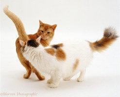 Red Burmese male cat Ozzie and tortie-and-white female Alexandria sniffing one another in greeting.