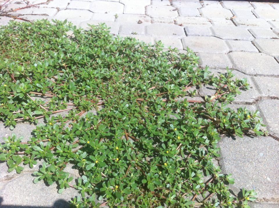 Trápí vás plevel? Netradiční způsob likvidace! Šrucha zelná místo salátu!