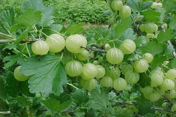 Gooseberries and Nectar