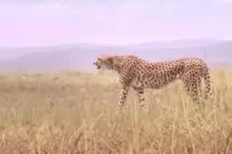 "2013 Skechers Super Bowl XLVII commercial ""Man vs. Cheetah"""