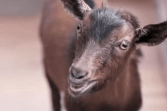 "Doritos 2013 Super Bowl ad ""Goat 4 Sale"""