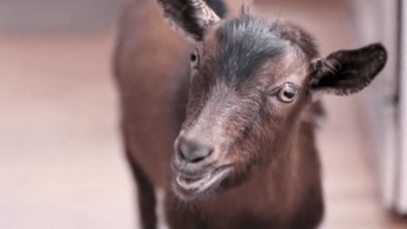 "[VIDEO] Doritos 2013 Super Bowl XLVII Commercial ""Goat for Sale"""