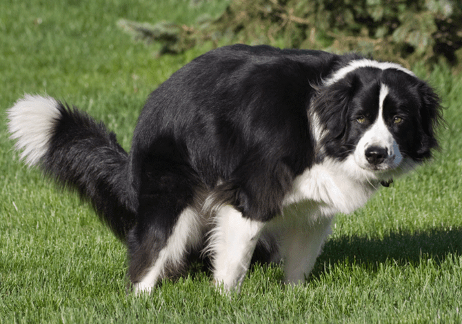 Estreñimiento en perros