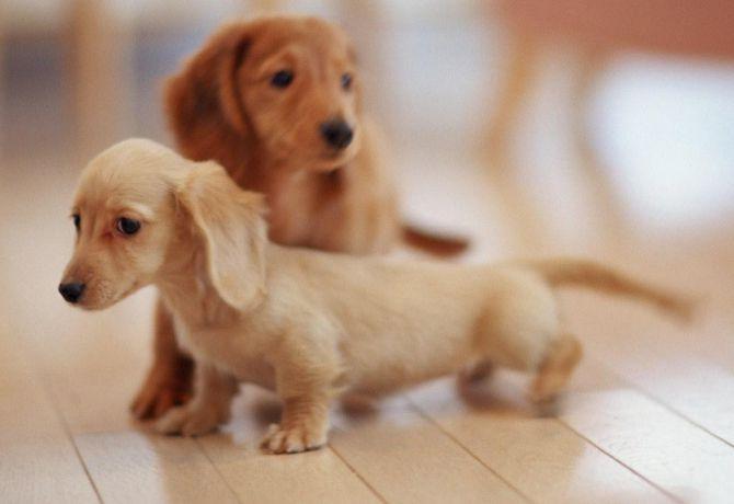 ¿Por qué muchos perros tienen las patas cortas?