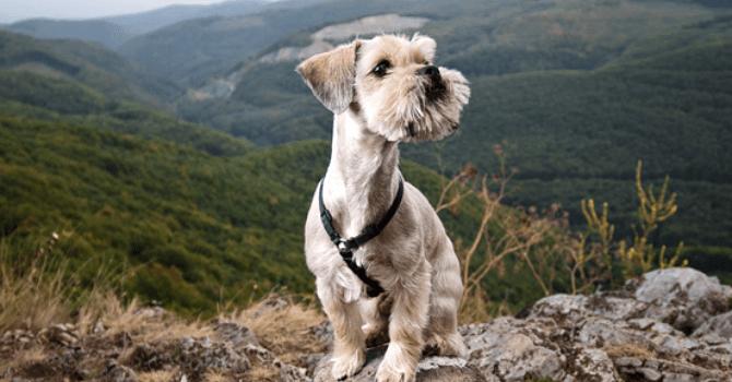 Colección Canina Desde Hungría