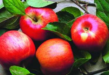 Las manzanas, principal insumo de la sidra. Uno de los imperdibles de la canasta navideña y que mayores aumentos de precios registra.