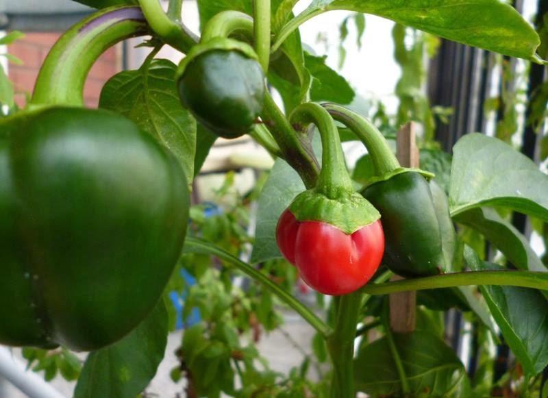 cómo cultivar morrones en macetas | supercampo