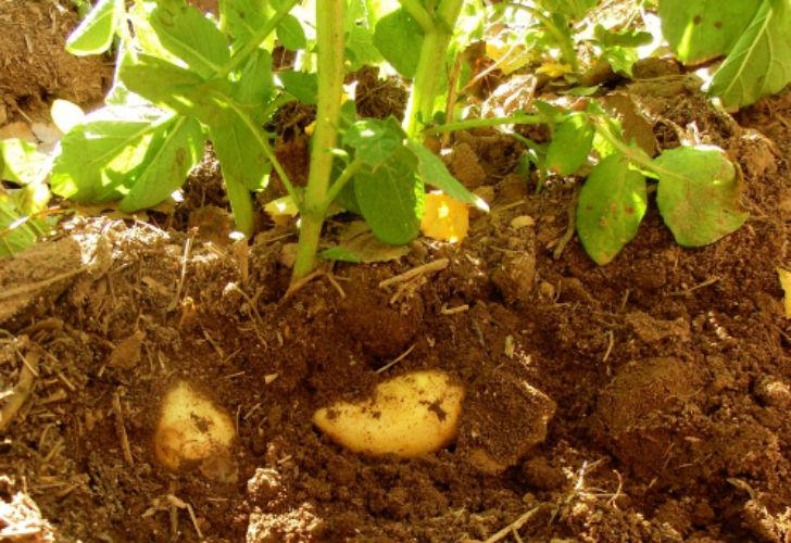 Video c mo cultivar papas en macetas supercampo for Huerta de aromaticas en macetas