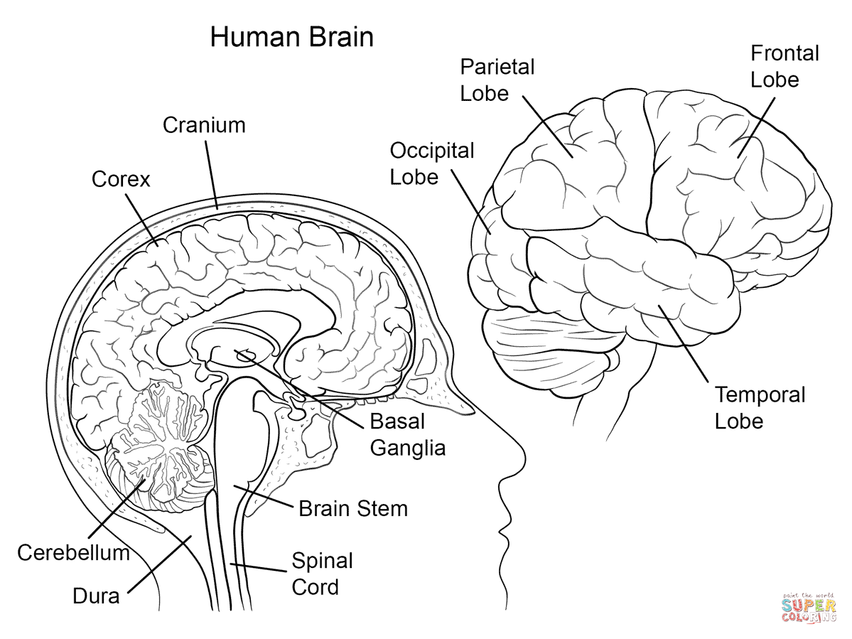 College Brain Anatomy Labeling Worksheet
