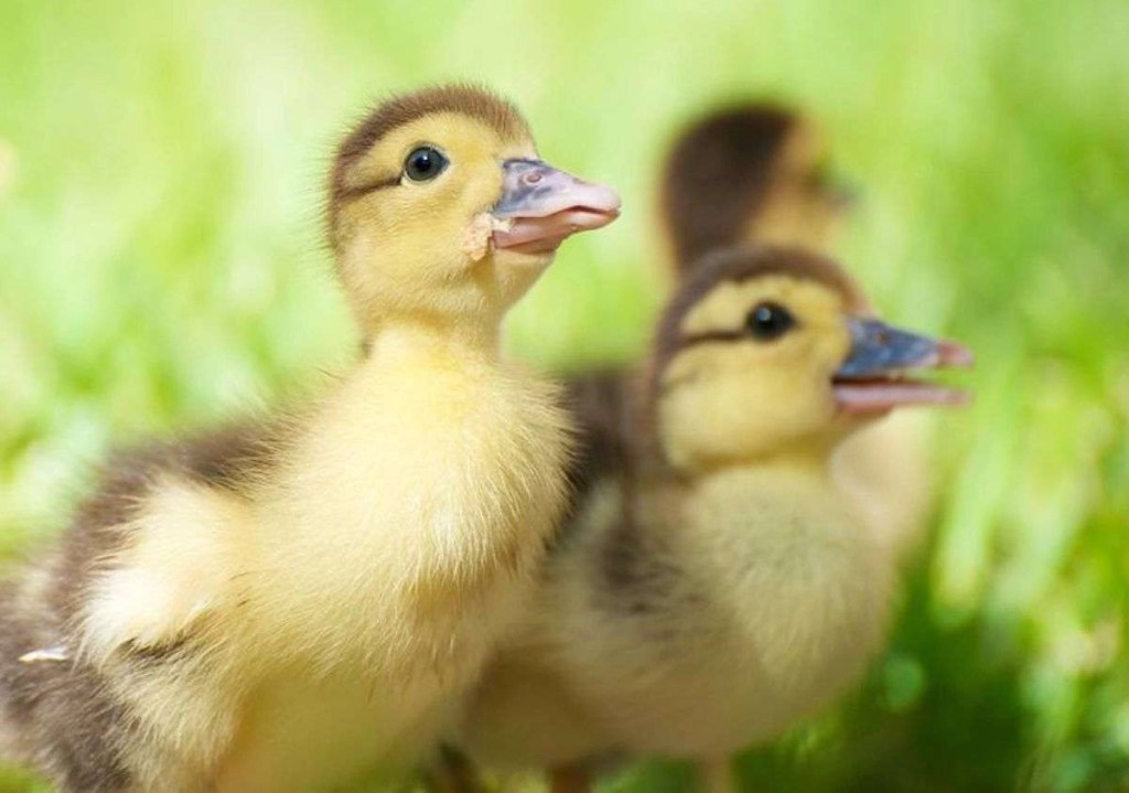 Photo of an adorable yellow, fluffy baby duck surrounded by his siblings in the grass in the sunshine.