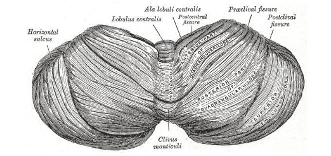 As funções do cérebro