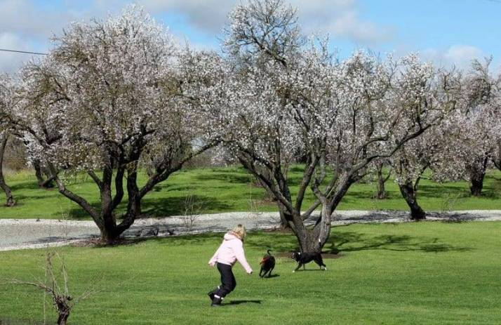 blooming almond trees image