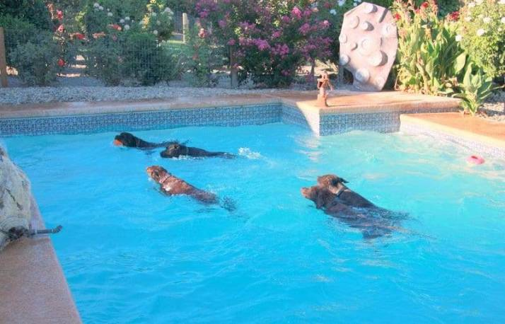 dogs swimming image