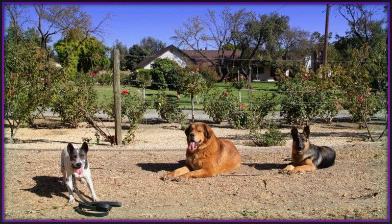 dog taining with german shepherd sacramento