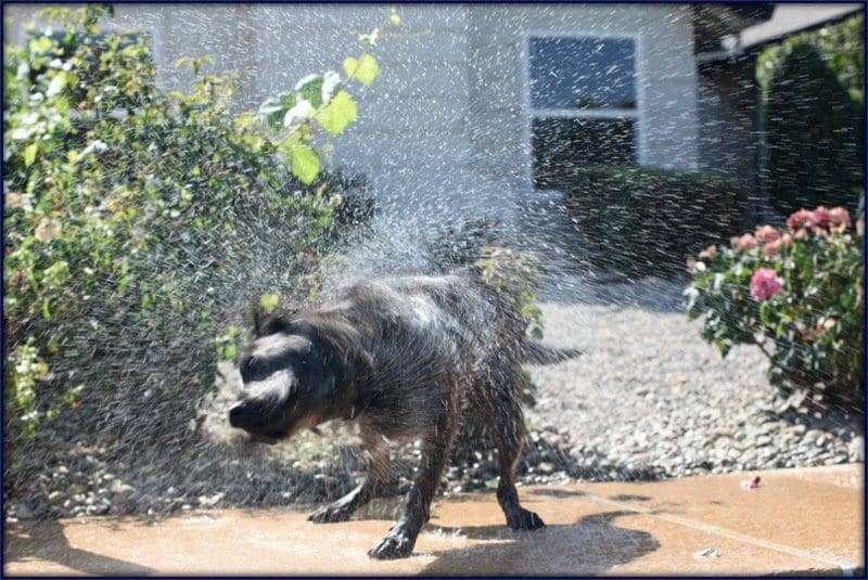 dog shaking off water image