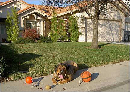 English Mastiff trainers in the Sacramento area