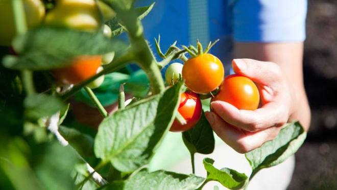 tomatoes good for prostate