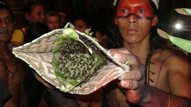 Amazon'da yaşayan Satere-Mawe yerlileri erkek çocukları ergenliğe erişerek bir birey olarak kabul edilmeden önce 20 defa kurşun karıncalarıyla dolu bu eldiveni giymek zorunda. Kurşun karıncaları dünyada en acı verici ısırıklardan birine sahip. Bir arı sokmasından 100 kat daha acı verdiği için, ve bir kurşun yarasıyla karşılaştırıldığı için Kurşun Karıncası ismi verilmiş.