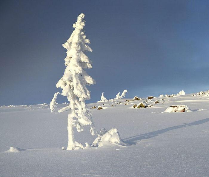 oldest-tree-old-tjikko-sweden-24