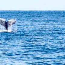 Ballenas se dejan ver en Isabela