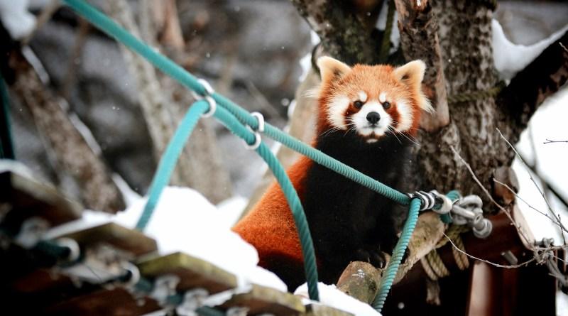 Asahiyama zoo redpanda